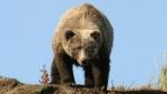 A fost descoperit cel mai mare urs din lume